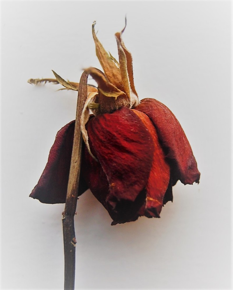 dried-up rose